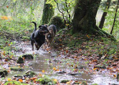 Rottweiler & Altdeutscher Schäferhund