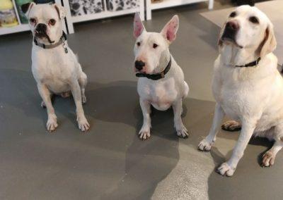 Weißer Boxer, Bullterrier, Labrador